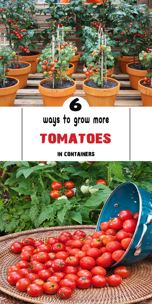 6 ways to grow more tomatoes in containers - Best tomato plants for container gardening ...