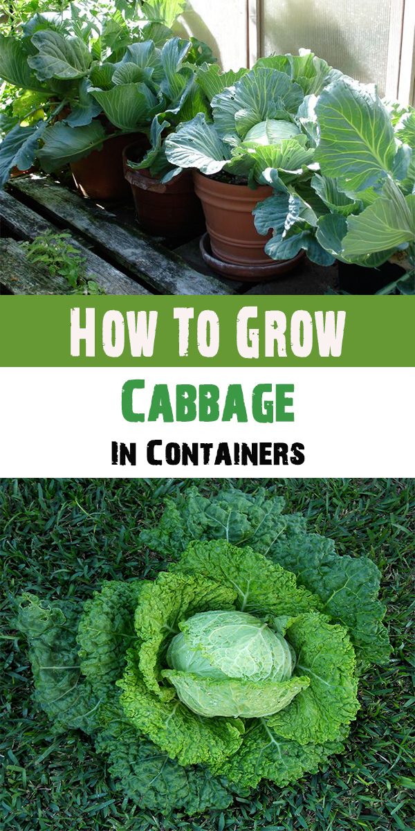 How To Grow Custard Apple: How To Grow Cabbage In Containers