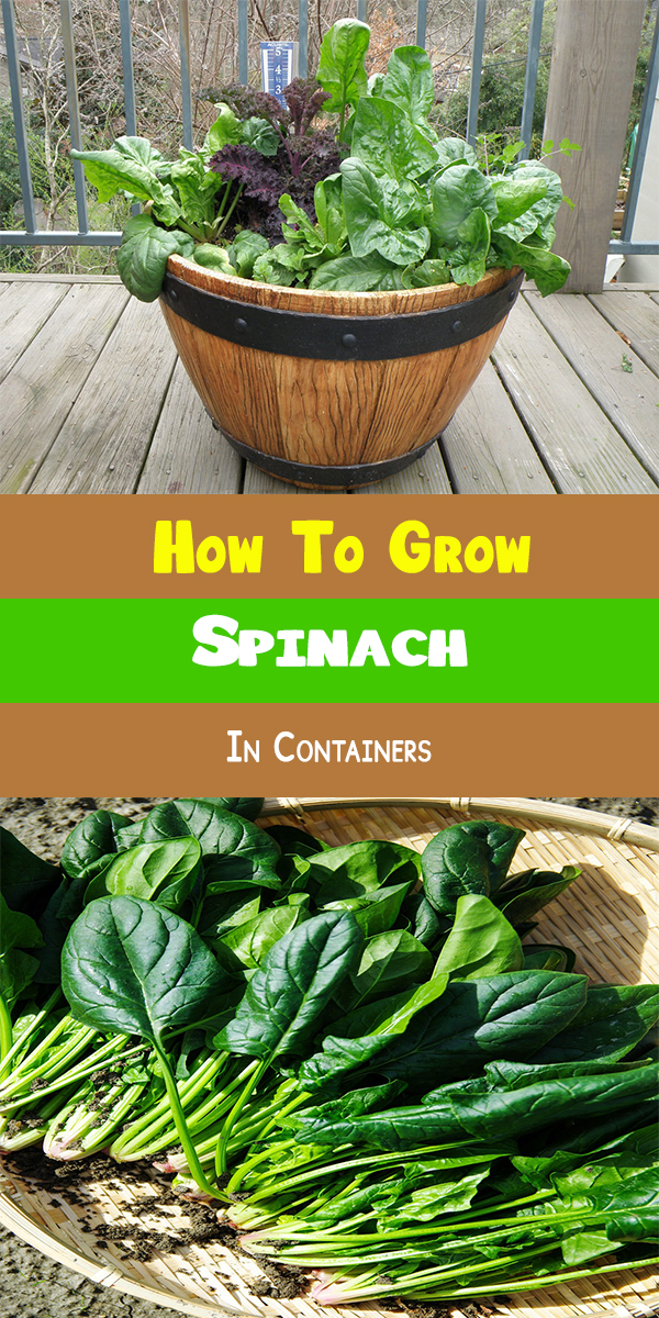 How To Grow Custard Apple: How To Grow Spinach In Containers